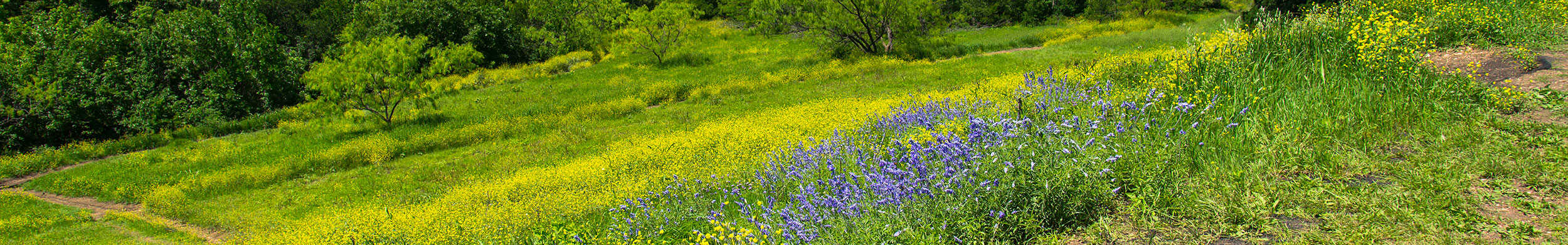 Wildflowers in north Texas