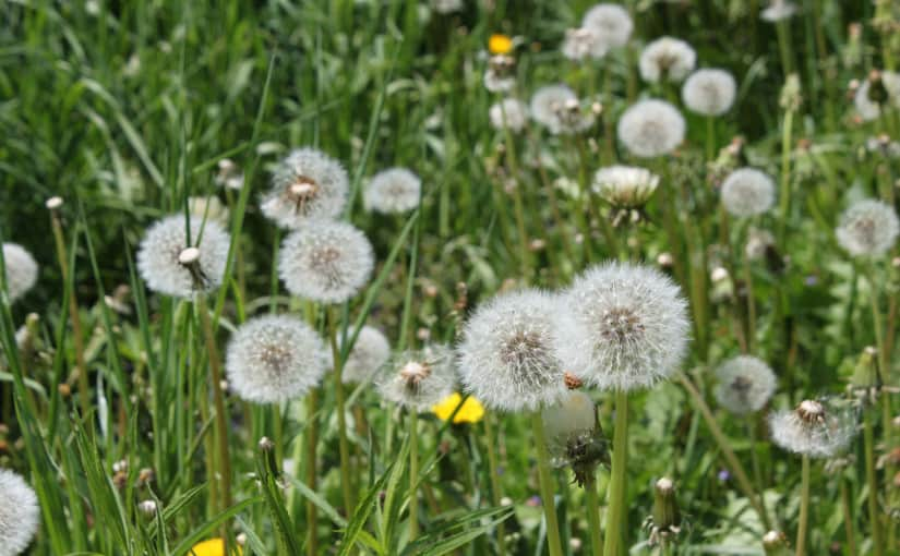 dandelion weeds in grass