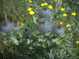 thistle weeds and dandelions