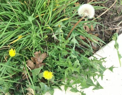 Weedex-Lawn-Care-best-residential-weed-control-in- Dallas-Texas